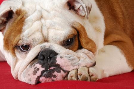 bulldog: wrinkle dog - adorable english bulldog laying on red blanket Stock Photo