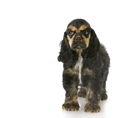 cocker spaniel puppy standing with reflection on white background - black and tan - 8 weeks old Stock Photo - 8228196
