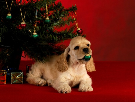 cocker spaniel puppy playing with christmas ornament under the christmas tree on red background photo