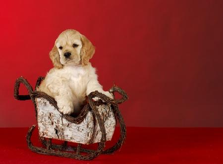 bloodlines: cocker spaniel puppy sitting in a sleigh on red background