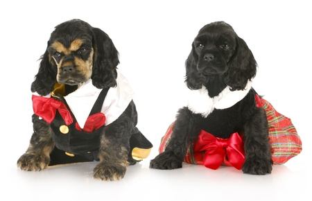 two cocker spaniel puppies dressed up in formal party clothing with reflection on white background photo