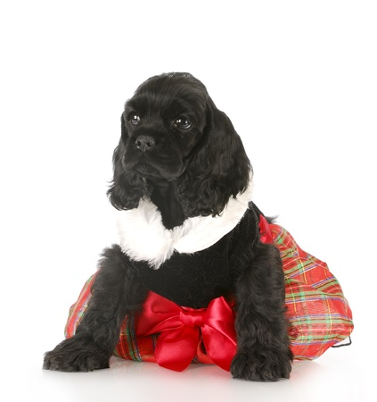 cocker spaniel puppy wearing party dress with reflection on white background photo