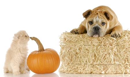 sniffing: english bulldog and persian kitten sitting with bale of straw and pumpkin on white background