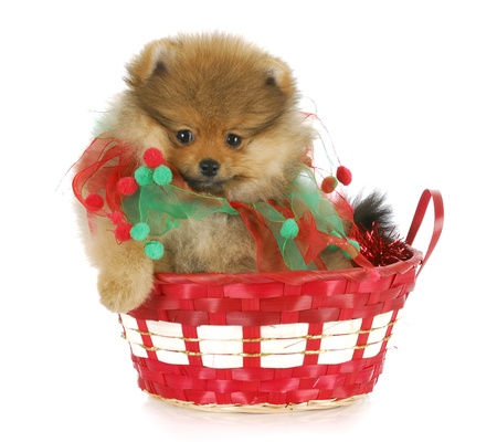 pomeranian puppy sitting in red christmas basket with reflection on white background photo