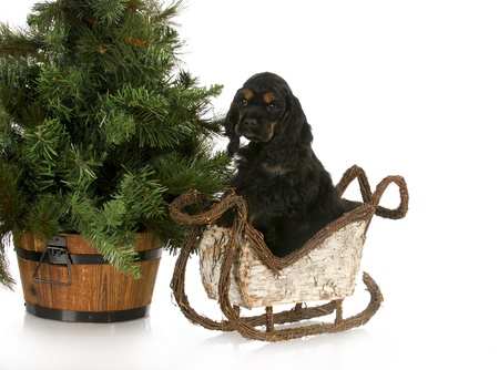 conformation: adorable cocker spaniel puppy in sleigh sitting beside christmas tree