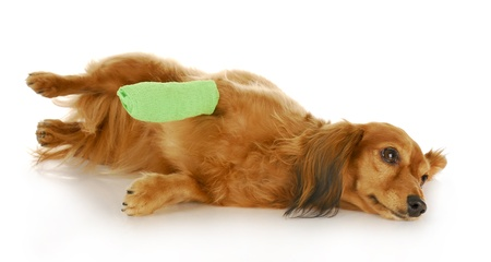 veterinary care - dachshund with a wounded paw with reflection on white background photo