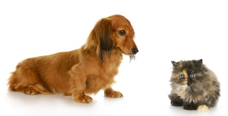 doxie: persian kitten and long  haired miniature dachshund with reflection on white background Stock Photo