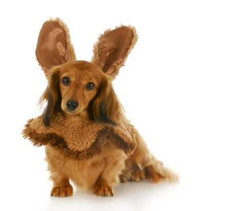 adorable dachshund puppy wearing bunny ears with reflection on white background Stock Photo - 8264111