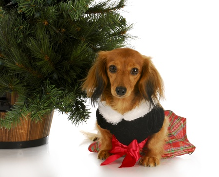 adorable dachshund puppy wearing party dress sitting under christmas tree on white background photo