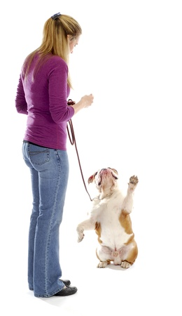 english bulldog begging for a treat from female handler on white background photo