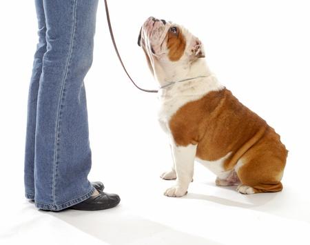 dog obedience training - english bulldog looking up watching handler on white background Stock Photo - 8307839