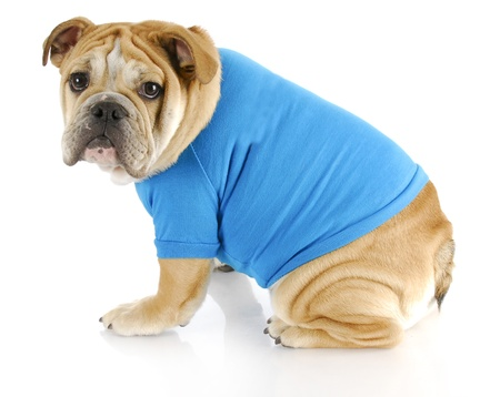 stocky: english bulldog puppy wearing blue sweater looking at viewer on white background