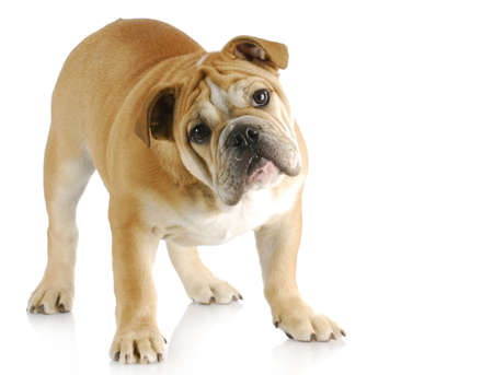 tilted view: english bulldog puppy with cute expression standing with reflection on white background