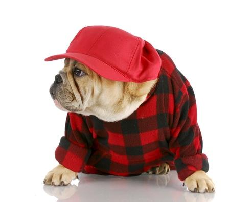 chemise carreaux: adorable anglais bulldog portant le chapeau de camionneur et chemise plaid avec r�flexion sur fond blanc
