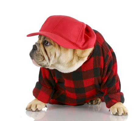 adorable english bulldog wearing trucker hat and plaid shirt with reflection on white background photo