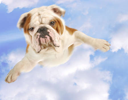 english bulldog with arms out flying on cloudy blue sky Stock Photo