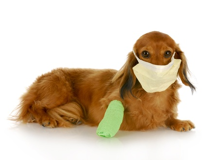 adorable dachshund with wounded leg wearing hospital mask with reflection on white background photo