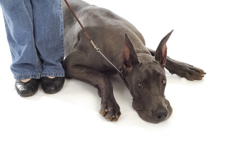 great: great dane laying down at owners side with reflection on white background