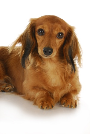 long-haired miniature dachshund laying down looking at view on white background Stock Photo - 8367074