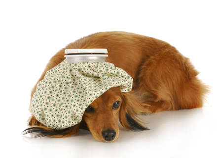 dachshund with hot water bottle on head with reflection on white background photo