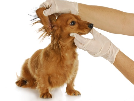 welfare: dachshund getting ears examined by a veterinarian with reflection on white background