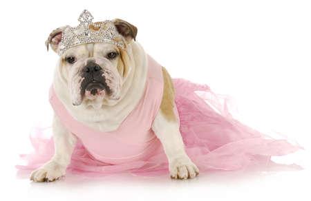 tiara: english bulldog dressed up like a princess in pink on white background Stock Photo
