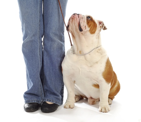 dog leash: obedience training - english bulldog sitting looking up at owner on white background