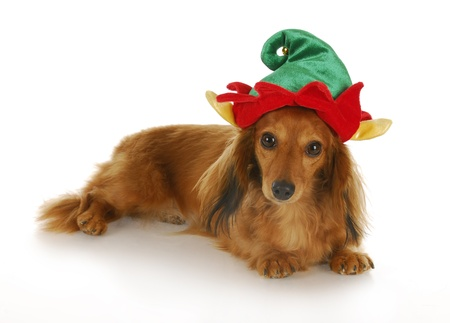 dwarf christmas: cute dachshund wearing christmas elf hat with reflection on white background Stock Photo