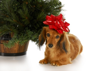 dachshund with red bow laying under christmas tree with reflection on white background photo