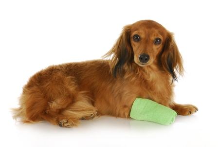 dachshund with wounded paw laying down with reflection on white background photo