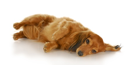 dachshund laying down on side looking at viewer with reflection on white background photo