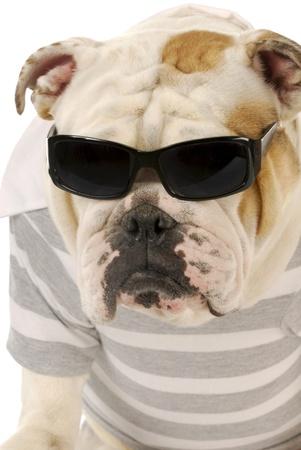 bulldog: bulldog ingl�s usando anteojos negros y camisa de rayas sobre fondo blanco Foto de archivo