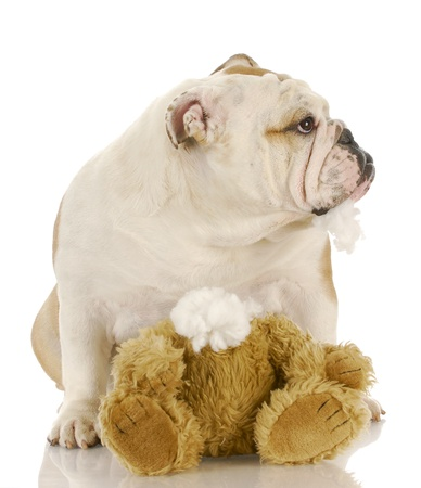 english bulldog chewing on stuffed bear with stuffing hanging out of mouth photo