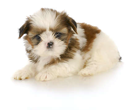 adorable shih tzu puppy laying down on white background - 6 weeks old photo