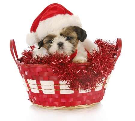 adorable shih tzu puppy sitting in chrismas basket on white background photo