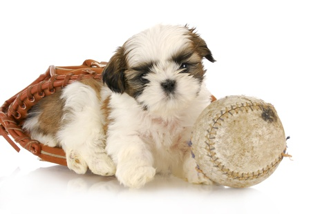 adorable shih tzu puppy laying in baseball glove with baseball on white background photo