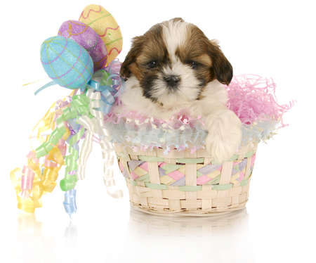 adorable shih tzu puppy sitting in easter basket with reflection on white background photo