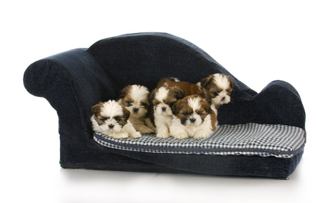 litter of shih tzu puppies laying on blue dog bed with reflection on white background photo