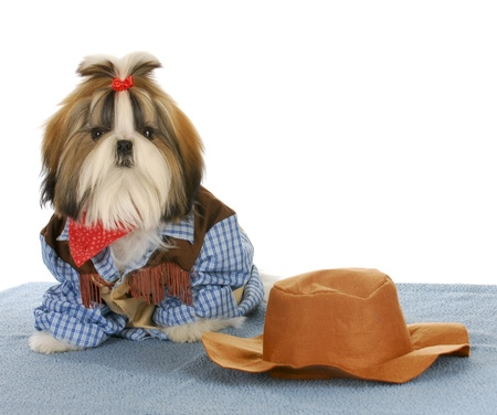 shih: cute shih tzu dressed up like a cowboy on white background Stock Photo