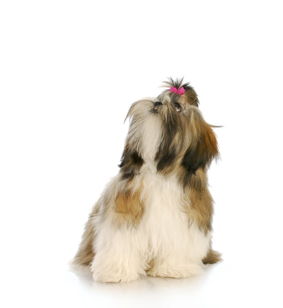 shih: adorable female shih tzu puppy with pink bow looking up with reflection on white background Stock Photo
