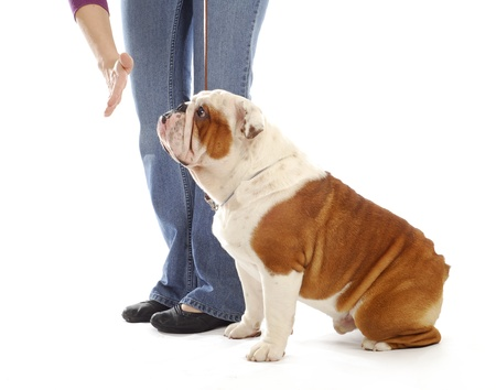 stay beautiful: obedience training dog - hand of person giving the stay command to english bulldog on white background Stock Photo