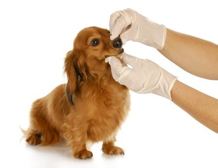 groomer: veterinary care - dachshund getting teeth checked by veterinarian Stock Photo