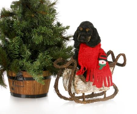 cocker spaniel puppy sitting in sleigh beside christmas tree photo