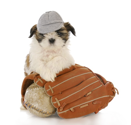 shih tzu puppy with baseball glove and ball with reflection on white background photo