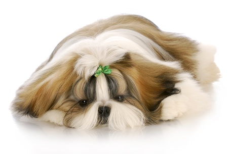 shih: adorable shih tzu puppy with green bow laying down with reflection on white background