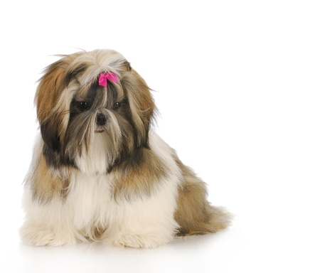 grooming: shih tzu puppy sitting with reflection on white background