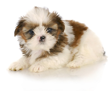 shih tzu puppy on white background - six weeks old photo