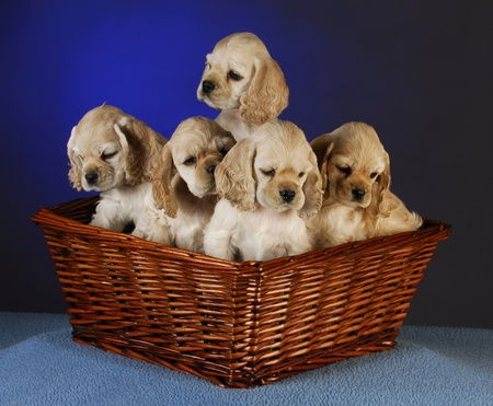 cocker spaniel puppies in a basket on blue background