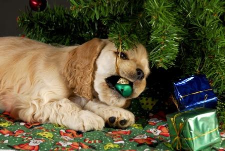 under the tree: cachorros de Cocker spaniel masticar adornos de Navidad bajo el �rbol