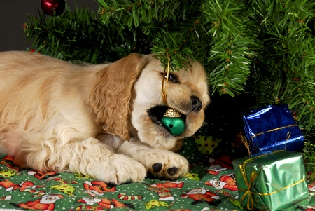 cocker spaniel puppy chewing on christmas ornaments under tree photo